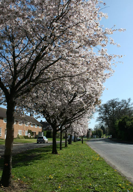 Trees blossom in Cole Green lane
